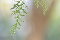 DSC_0192 (Camy487) Tags: beauty nature bokeh closeup day focus foreground fragility freshness green color growth leaf no people outdoors pine tree plant soft light softness