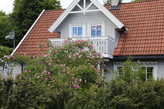 I fullt flor (fotomormor) Tags: hønefoss roser rosa grønt hus vinduer busker