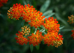 Butterfly Weed (annabelleny Thank you for your many views and comm) Tags: flowers floral butterflyweed asclepias garden annjacobson