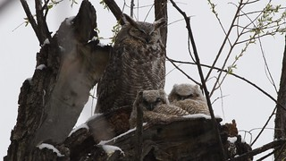 Great Horned Owls in the Spring Snow 3
