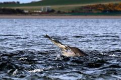 Wild & Free (Ally.Kemp) Tags: moray firth bottlenose dolphins dolphin feeding fishing fish catching salmon salar salmo scottish scotland chanonry point free wild fortrose
