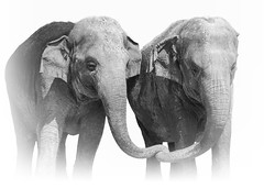 Family (Just BS) Tags: elephant elephants elephasmaximus family animal nature wildlife pachyderm whitebackground photoshop canon zoo zoosofthesouth zoosofnorthamerica aza buschgardens blackandwhite tampa bond