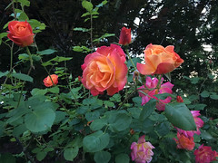 LG (patia) Tags: lg rose