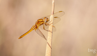 Scarlet Darter, male (Crocothemis erythraea, macho)