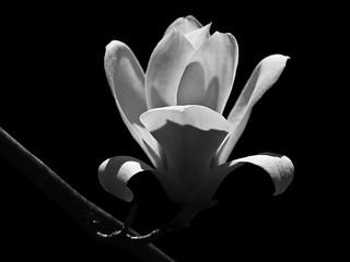monochrome magnolia