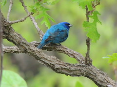 Indigo Bunting (Two Cats Productions) Tags: