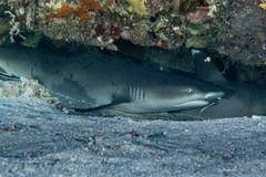 White Tip Reef Shark (Stefan Dreesen) Tags: fishmarketpinnacle tg165 wakatobi pelagian whitetipreefshark wangiwangiselatan sulawesitenggara indonesien id