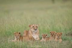 Le retour de la légende (Vincent Chopard • Wildlife photographer) Tags: lioncub lionkenya masaimaralion masaimara lionhead cub kenyawildlife wildlife kenya africanexpedition africa africanexperience afrique safari freeanimal wildanimal cuteanimal animalportrait nikkor nikkorlens nikkor400mmf28 nikonphotography nikond800 nikonwildlife swissartist swissphotographer vincentchopard
