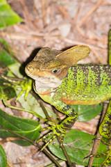 Western basilisk (Adam_BT) Tags: cloudforest maquipucuna basilisk westernbasilisk basiliscusgaleritus reptile