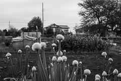 Flowers of negi (odeleapple) Tags: fujifilm xpro2 xf35mmf14r negi flower monochrome bw