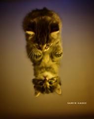 #cats #pet #mirror #babycat (samyrhadec) Tags: pet cats babycat mirror