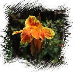 Canna Lily (robert (Bobby)powell) Tags: leecountyfl florida robertbobbypowell nature flowers lakespark rpowell canon flower imagesofflorida usa cannalily leecounty photography macro bloem lily framed wild southwestflorida canoneos scenery blossom