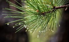 Pine Needles (mswan777) Tags: pine needles tree macro closeup woods forest trail michigan stevensville rain drop wet water outdoor nature nikon d5100 sigma 70300mm spring