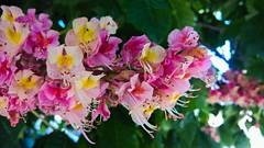 Trop romantique.... (Isa****) Tags: fleurs flowers couleurs colors marronnier 7dwf