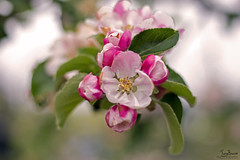 Hey Little Apple blossom (Tony_Brasier) Tags: apples 50mm nikon d7200 kent faversham green trees town theswale