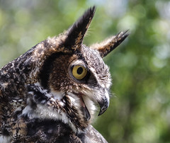 Boudica The Great Horned Owl (smfmi) Tags: bird greathornedowl owl theark boudica justpentax pentaxlife michigan frohm wildliferescue raptor