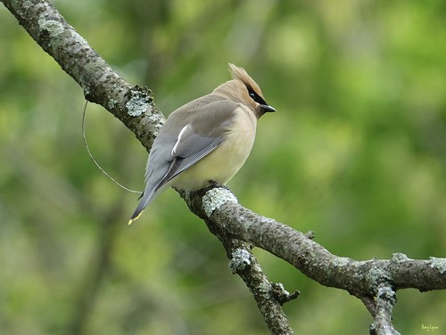 """Cedar Waxwing • <a style=""""font-size:0.8em;"""" href=""""http://www.flickr.com/photos/52364684@N03/33725868054/"""" target=""""_blank"""">View on Flickr</a>"""