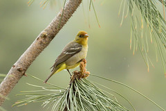 Western Tanager (3553) (Bob Walker (NM)) Tags: bird tanager westerntanager pirangaludoviciana weta losalamos newmexico usa