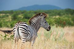 Burchell's zebra foal - Kruger NP - South Africa (bart coessens) Tags: animals animal zebra burchellszebra mammal mammals herbivore game gameviewing gamedrive safari sanp sanparks africa southafrica southafricannationalparks southernafrica limpopo kruger krugernationalpark