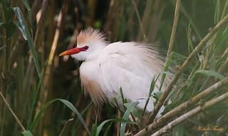 Airone guardabuoi - Cattle egret (Bubulcus ibis) Explore.