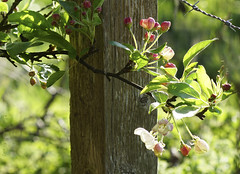 The apple blossom fence (Elisafox22 Still recovering from Shingles!) Tags: elisafox22 sony ilca77m2 100mmf28 macro macrolens telemacro springtime appleblossom sunshine shadow fencedfriday hff fencefriday apple flowers buds blossom white pink green leaves branch fencepost wooden grass bokeh wire barbedwire aberdeenshire scotland outdoors elisaliddell©2017