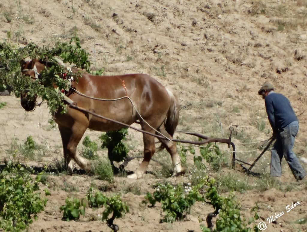 Águas Frias (Chaves) - ... lavrando a terra ...