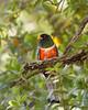 Elegant Trogon (nathendanforth) Tags: eleganttrogon birds 100400isii 5dmarkiii