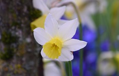 Daffodil (careth@2012) Tags: daffodil flower nature petals spring