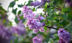 Happy Mother's Day! (Lala Lands) Tags: lilac commonlilac syringavulgaris nothingcommonaboutthisyearslilacs springlilacs springflowers floweringtrees springeveninglight goldenhour bokeh shallowdepthoffield dof nikkor105mmf28 nikond7200