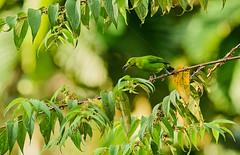 BOR_9747 (lucvanderbiest) Tags: lessergreenleafbird blauwbaardbladvogel borneo maleisië sabah sepilok