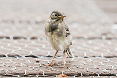White Wagtail  - Bachstelze (CJH Natural) Tags: wagtail bachstelze juvenile junge moment share chickenwire decking path nikon d500 nikond500 telephoto 200500mm edvr nikkor natural nature outdoor outdoors animal wild wildlife bird vogel wing feather avian remerschen christopherharrisorg