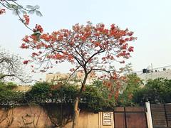 The Neighbour's Trotskyist Tree (Mayank Austen Soofi) Tags: delhi walla tree summer red flower gulmohar the neighbours trotskyist