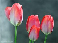 Tulipes du jardin