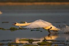 Mute swan (Cygnus olor) (tomaszberlin) Tags: bwg bokeh bokehoftheday wildlife poland druzno lake nikon d500 nikkor3004vr water swan mute cygnus olor birdwatcher goldenhour action