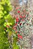 British soldiers lichen (cheryl.rose83) Tags: lichen britishsoldiers britishsoldierslichen