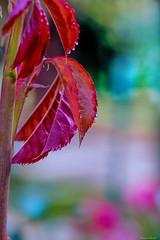 Pleasures of Simplicity (kumherath) Tags: kumariherathphotography srilanka 7dwf macro tenderleaves raindrops bokeh canonef100mmf28lisusm bokehwednesday hbw