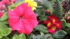 petunia & primulas (✿ Graça Vargas ✿) Tags: petunia flower graçavargas ©2017graçavargasallrightsreserved primulas 25007310517 barcelona spain