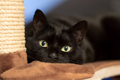 Lilli (rengawfalo) Tags: cat blackcat black lilli katze auge eyes animal pet tier haustier