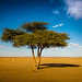 Lonely Argan Tree