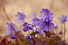 the sings of spring (Elahe Dastgheib) Tags: elahe sings spring blåsippa flower blue sweden järfälla stockholm vårblomma woods forest