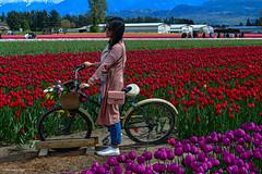 Tulips of the Valley Tulip Festival (SonjaPetersonPh♡tography) Tags: fraservalley nikonafsdxnikkor18300mmf3563gedvr nikond5200 nikon topazglow oilpaintingeffect chilliwack britishcolumbia canada fields tulipfields tulips bicycle flowers tulipsofthevalley tulipfestival2017 festival tulipsofthevalleyfestival digitalart landscape tulipsfields tulip gardens blooming spring springtime blooms tulipfestival people visitors