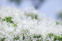 Seasonal color :  MAY (Colorful-wind) Tags: colorful colors flower fujifilm fukuoka kitakyushu lightandshadow soft softfocus white xt1 なんじゃもんじゃ 北九州 戸畑