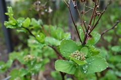 After the rain (Pascal Volk) Tags: flora pflanze plant planta green grün closeup nahaufnahme sonydscrx100 7dwf