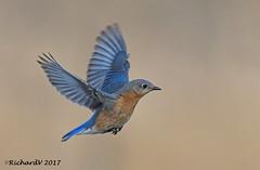 Merle Bleu de L'est / eastern Bluebird (Richard Vézina) Tags: bird wildlife bluebird nikond500 tamron150600mmg2