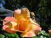 IMG_3317 (reuse) Tags: mayflowers