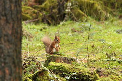 Red Squirrel (sam_breed) Tags: red squirrel wildlife wild nature uk natural photography hide photograph photo canon nikon close young amateur all