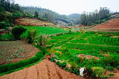 Intense beautiful farming (www.travelandroll.com ==//== fb.com/travelandroll) Tags: ooty india