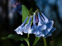 Virginia_bluebells_09911 (McConnell Springs) Tags: mcconnellspringspark wildflowers lexingtonky lexingtonparksrecreation