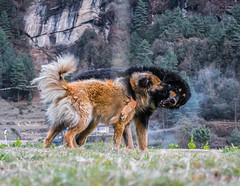 Dogs Playing in Nepal (troyhulm) Tags: dog dogs playing nepal trek