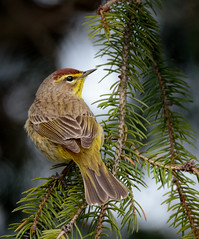 Palm Warbler in the Pines (rmikulec) Tags: yellow rumped warbler birds songbird little small fluffy feather tree branch hike spring migration wild wildlife trees